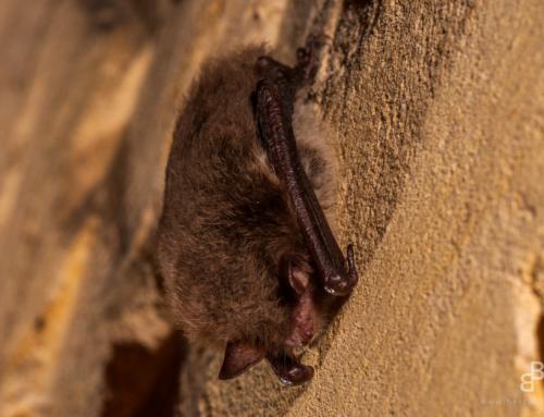 Nieuws over de vleermuizen in corona-tijden